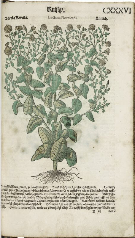 A hand-colored illustration of a lettuce plant from a Czech translation of Mattioli's herbal.