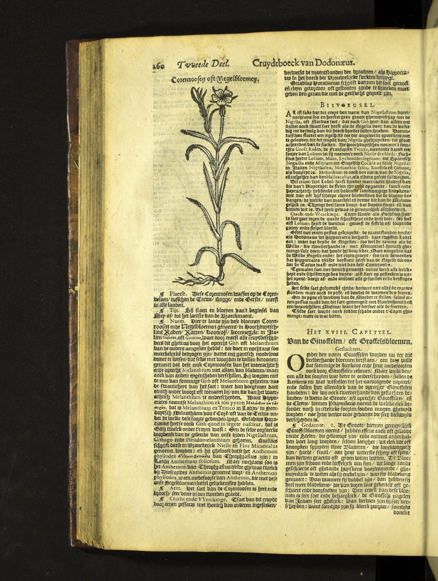 In this Dutch version of Dodoens herbal, the same woodblock from the first edition is again used to illustrate the corn-cockle. It looks smaller here because this edition is formatted as a folio rather than an octavo.